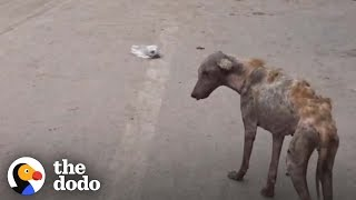 This Dog Found Walking In The Middle Of The Road Makes An Amazing Transformation   The Dodo by The Dodo