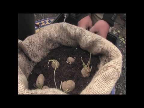 Cómo cultivar patatas en tu casa//Balcón comestible//Llevamealhuerto.tv