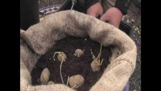 Cómo sembrar papas en tu balcón