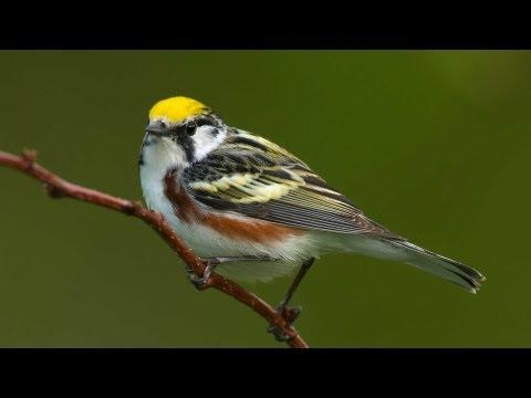 Birding Warblers