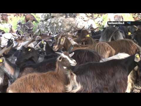 transumanza sui nebrodi. il video della migrazione delle greggi