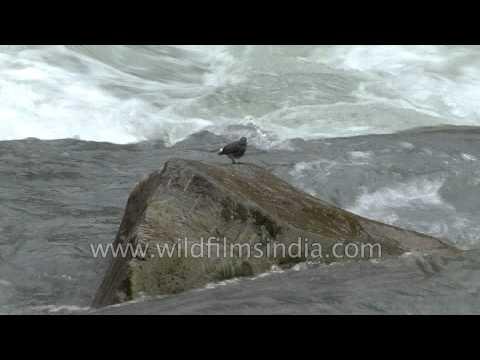 Plumbeous Redstart along a gushing Kashmir torrent