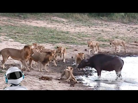 10 сумасшедших битв животных снятых на камеру / часть 6