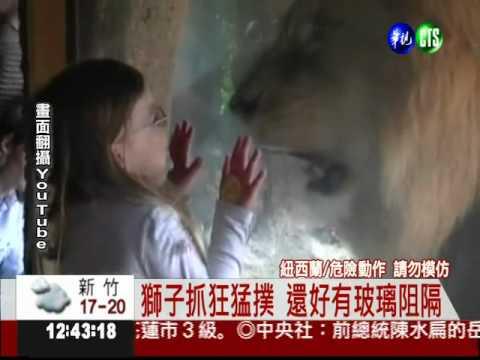 小女孩挑釁獅子發怒狂撲