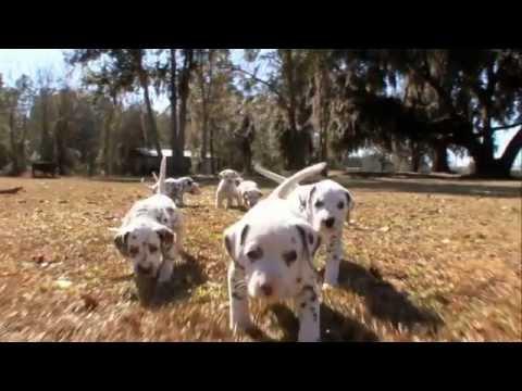Dog Breeds - Dalmatian.  Dogs 101 Animal Planet (видео)