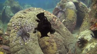 The amorous frogfish at Ginamaan...