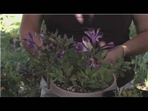 Flower Gardening : How to Care for an Alstroemeria