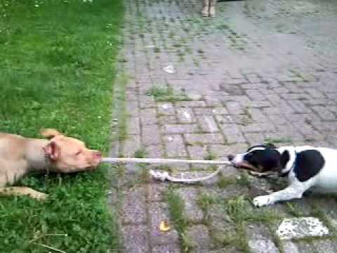 jack russel gioca con un pitbull