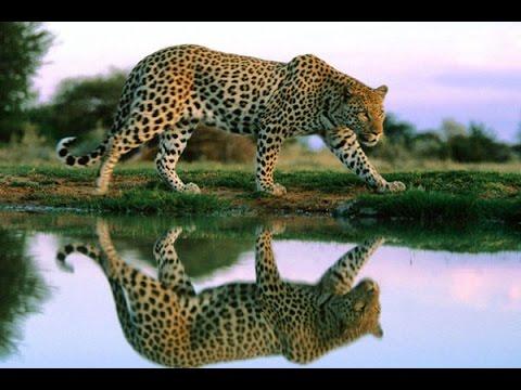 Дикие кошки. Хищники Африки. Леопарды. Фильм от Nатiоnаl Gеоgrарhiс - DomaVideo.Ru