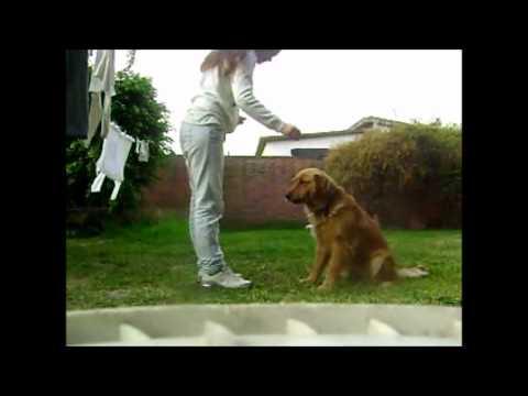 Entrenar a un perro de raza