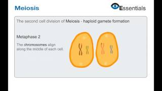 Essentials Video Animation - Meiosis
