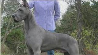 Dog Health&Treatments : When Do Great Danes Stop Growing?