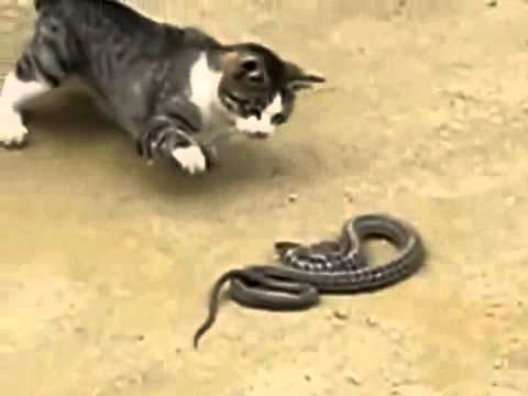 Котка VS. Змия
