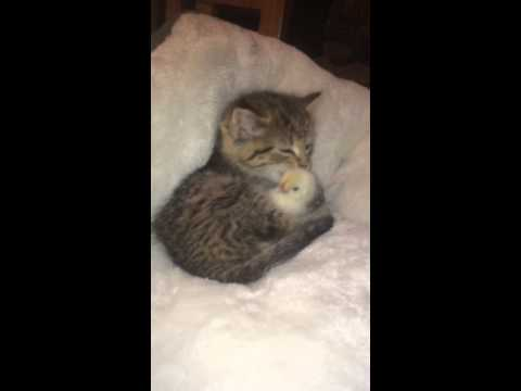 Kitten and Chick Friendship (видео)