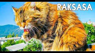 Download Video 6 Kucing Terbesar Di Dunia Yang Di Juluki Sebagai Kucing Raksasa MP3 3GP MP4