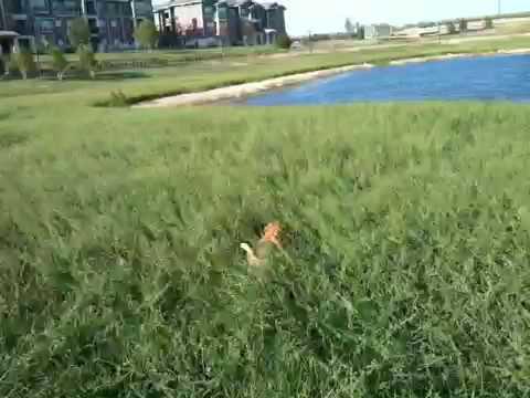 Happy-Hopping-Chihuahua