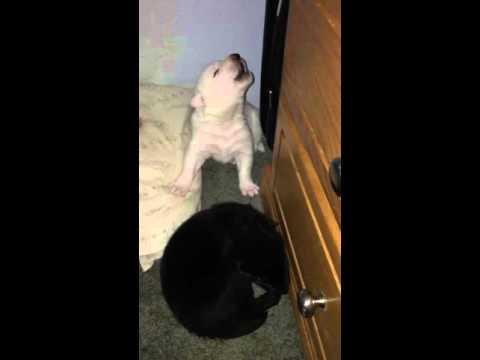 Derek Wolf Pup Howling 15 days old!