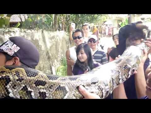 alivenotdead - World's biggest snake found alive, world's biggest snake youtube, world's biggest snake ever caught, world's longest snake on record, world's biggest snake p...