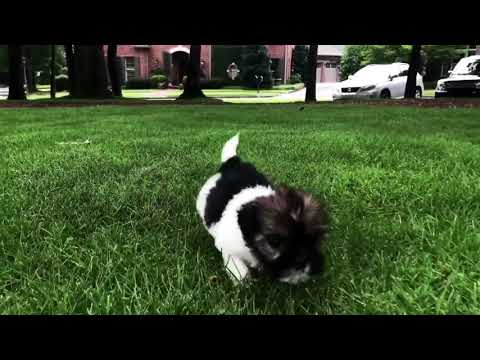 Imperial Charlie is a very tiny, intelligent, laid back Miniature Imperial Shih Tzu