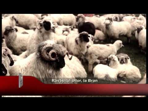 Ravasitul oilor, la Bran