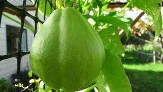 An update video to show you the stages of my Chayote (choko) vine. Plus, I have some sad news to share with you :( My first video about starting Chayotes ...