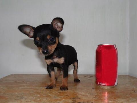 Chihuahua Golondrina Tacita de Te – Venta de Cachorros Chihuahua Mini toy
