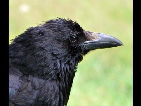 Cracking HMR Crow shot, at 221 yards