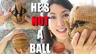 Three Banded Armadillo || SO CUTE || Armadillo Information || Creature Feature