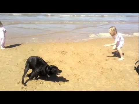folle e divertente labrador in spiaggia.