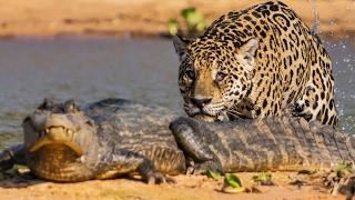 Video Un jaguar attaque un caïman ! - ZAPPING SAUVAGE MP3, 3GP, MP4, WEBM, AVI, FLV Agustus 2017