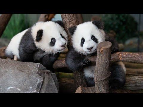 Berlin: Babypandas im Zoo auf Entdeckungstour