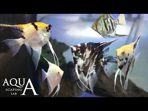 acquariofilia - scalari o pesci angelo