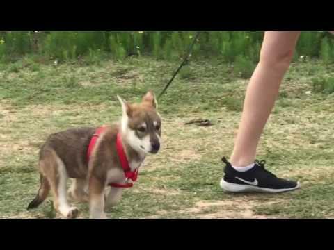 Ella Wolfdog puppy playing!