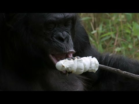 monkey - Programme website: http://www.bbc.co.uk/programmes/p01r52gr Kanzi the bonobo lives in America and has learnt how to build a fire, light it using matches and ...