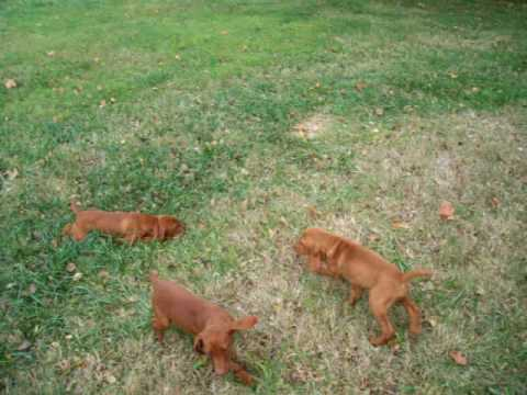 Vizslas During Playtime
