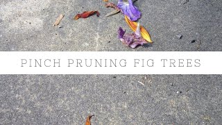 Figtree Australia  City pictures : How to pinch prune and grow a fig tree