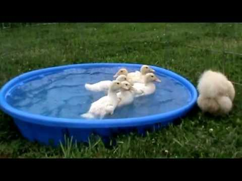 Video Crazy Cute Baby Pekin Ducklings Play in Pool while Mama CHICKEN Hen Looks On download in MP3, 3GP, MP4, WEBM, AVI, FLV January 2017