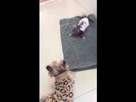 Bobby, The Blue Chihuahua Puppy, wants to dance with Bobo