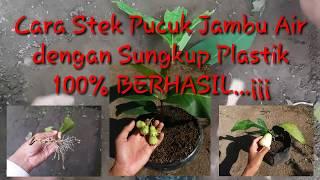 Video Cara Stek Pucuk Jambu Air dengan Sungkup Plastik...100% Berhasil...¡¡¡ MP3, 3GP, MP4, WEBM, AVI, FLV Desember 2018