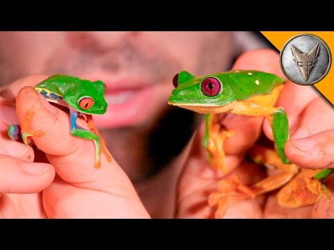 Red Eye vs Gliding Tree Frog!