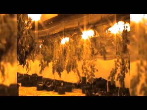 CBŚP zlikwidowało plantację marihuany pod Toruniem
