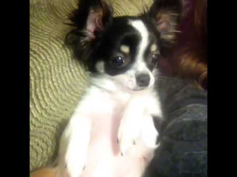 Chihuahua Barking