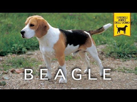 beagle, piccolo grande cane
