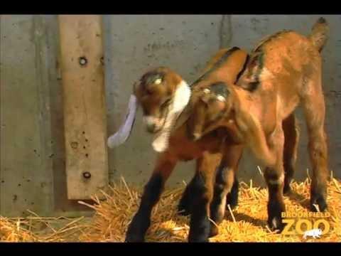 Goat Kids Born at Children