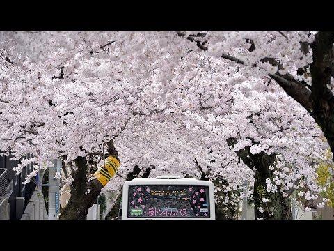 神戸市灘区の桜トンネル