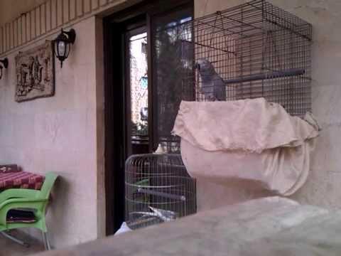 """الببغاء الرمادي الأفريقي African Gray Parrot """"Einstein"""" 1"""