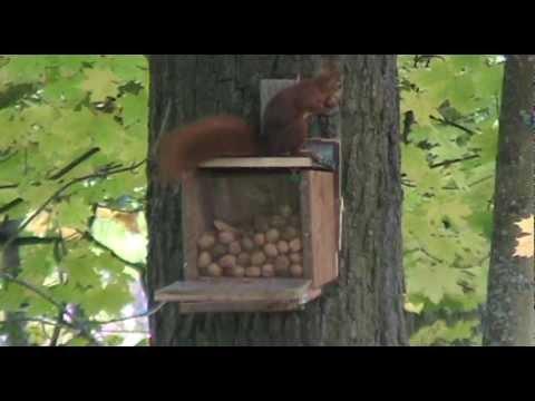Eichhörnchen an der Futterstation (08.10.2012)