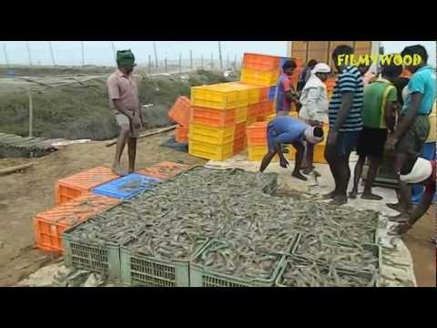 ROYYA… The Prawn: Farmers making a living on the edge… By FILMYWOOD