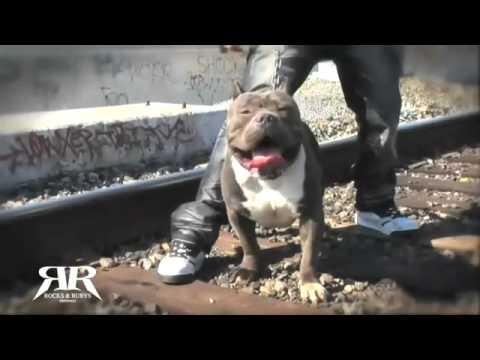 Vendita cuccioli di american bully (purebred abkc-ebkc)
