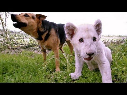 Hund och lejonunge som bästa kompisar